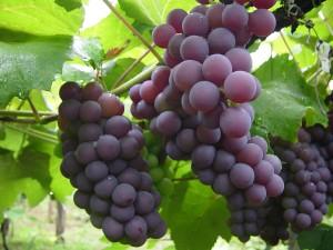Emagreça com suco de uva integral