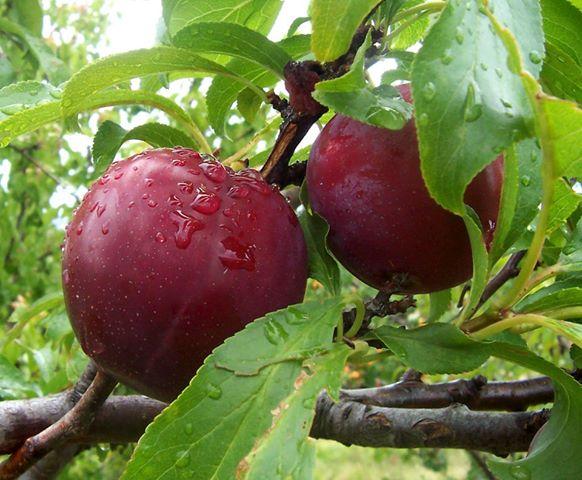 Frutas laxativas
