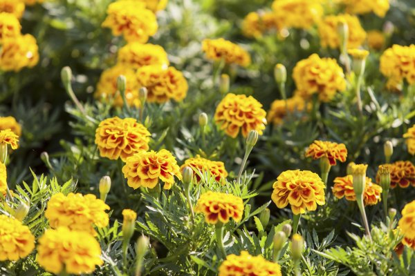 Consumo das flores de tagete-patula