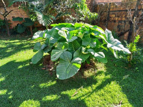Planta taioba